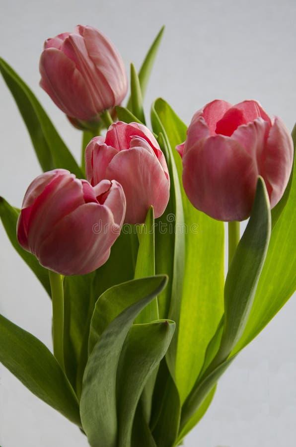 Свежий розовый тюльпан цветет букет на белой изолированной предпосылке стоковые фото