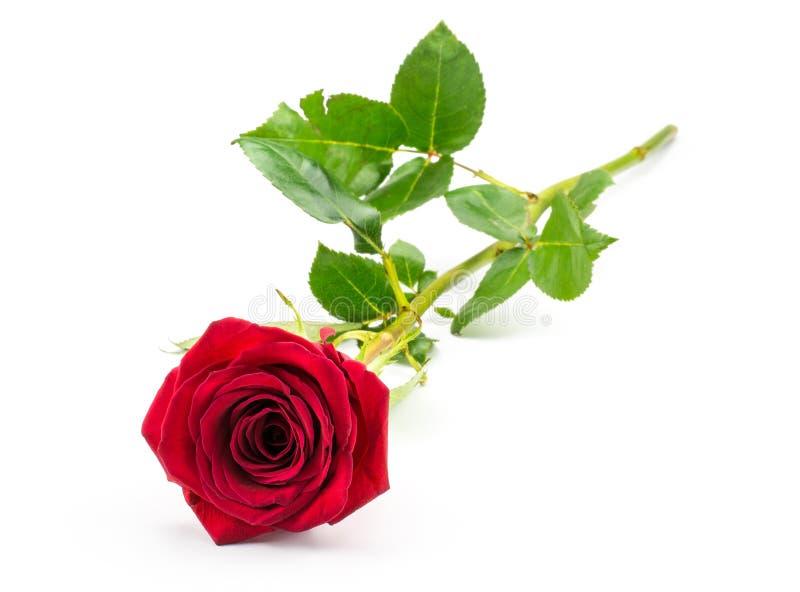 Свежий розовый цветок изолированный на белизне стоковые изображения rf