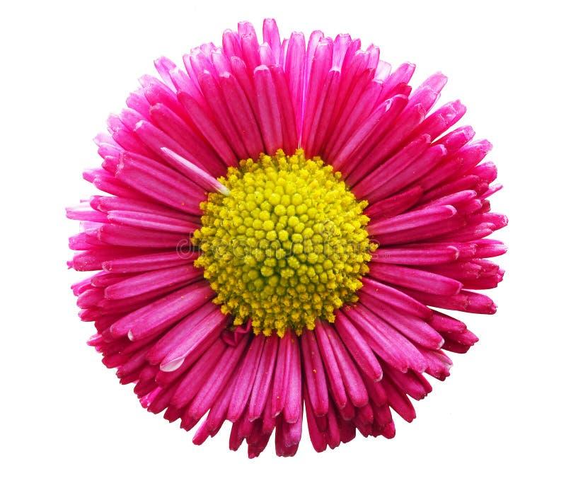 Свежий розовый цветок маргаритки изолированный на белизне стоковое фото rf