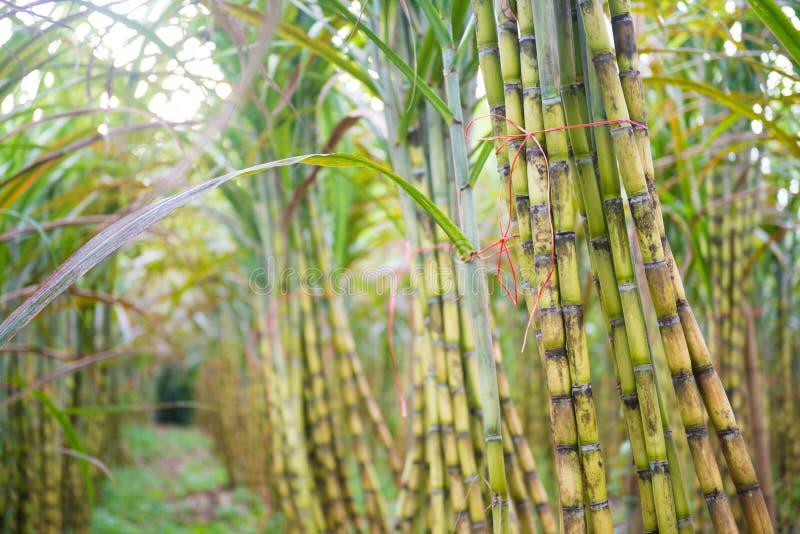 Свежий сахарный тростник в саде стоковое фото