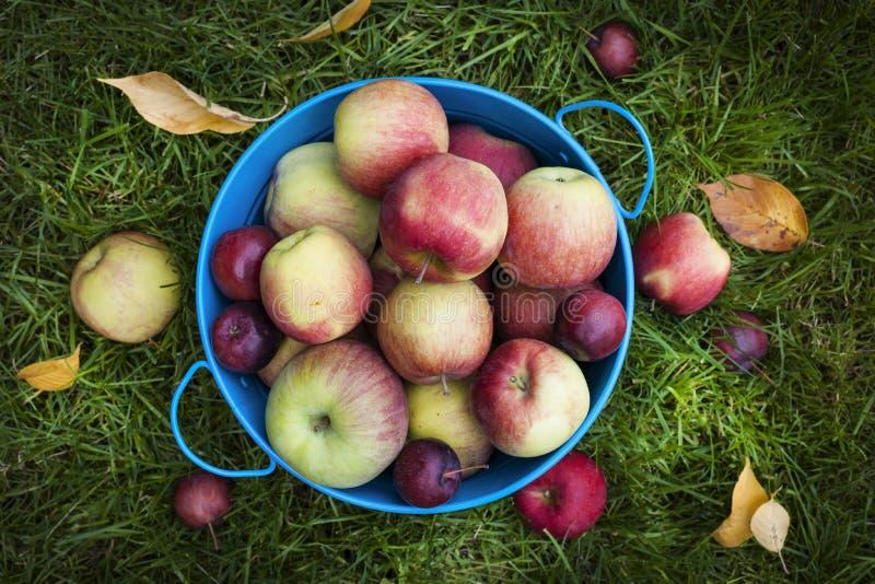 Свежий сбор яблок стоковое изображение