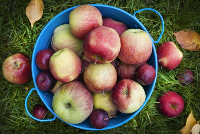Свежий сбор яблок стоковые изображения