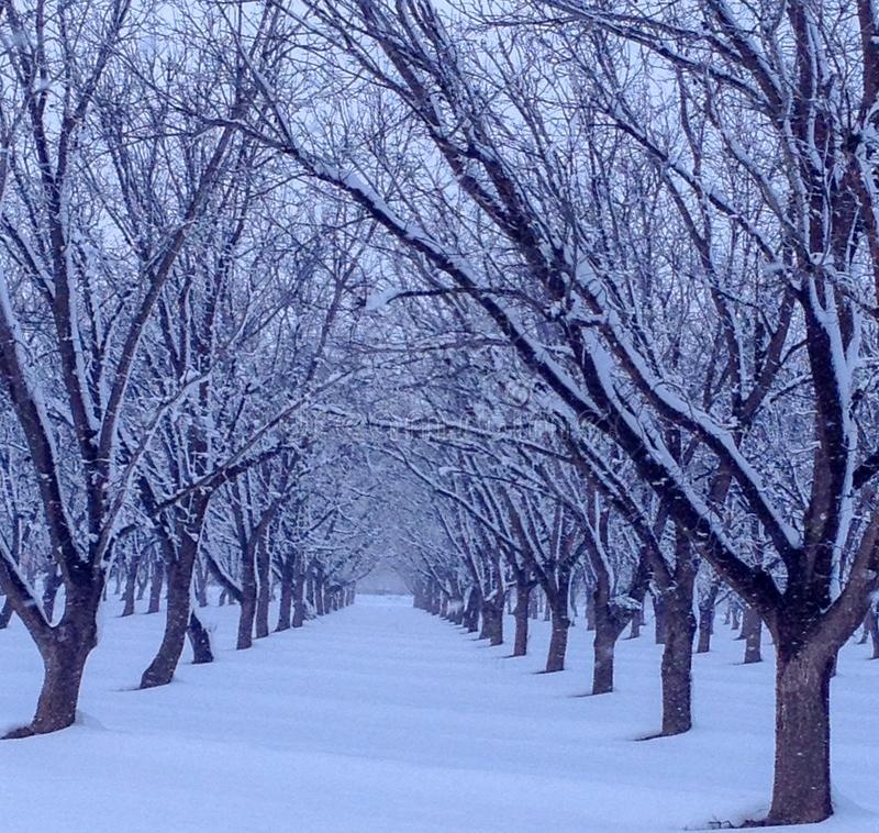 Свежий снег в роще дерева стоковое изображение rf