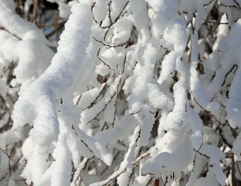 Свежий снег на ветви стоковые изображения