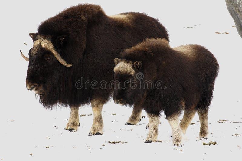 свежий снежок oxs мускуса стоковые фото
