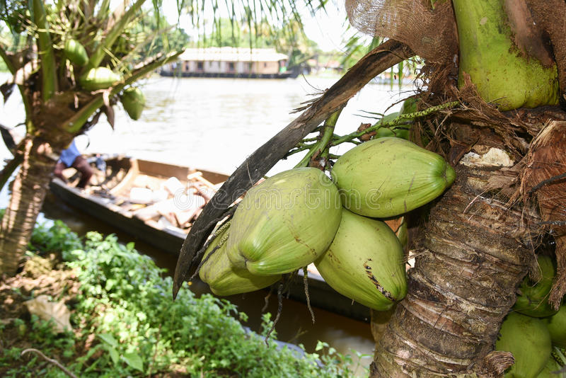 Свежий сырцовый плодоовощ кокоса на кокосовой пальме в Керале Индии стоковые фото