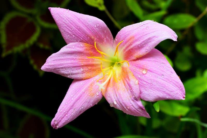 Свежий фиолетовый цветок стоковое изображение