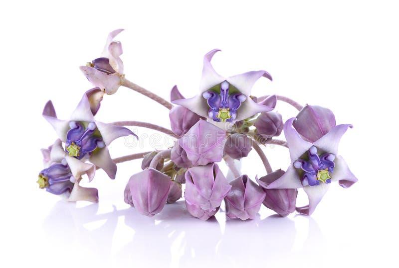 Свежий цветок Calotropis стоковое изображение