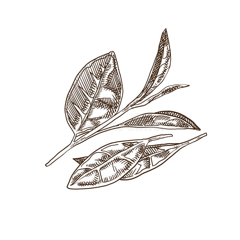Свежий чай листьев чая, зеленых и черных, заводы, сбор, плантации бесплатная иллюстрация