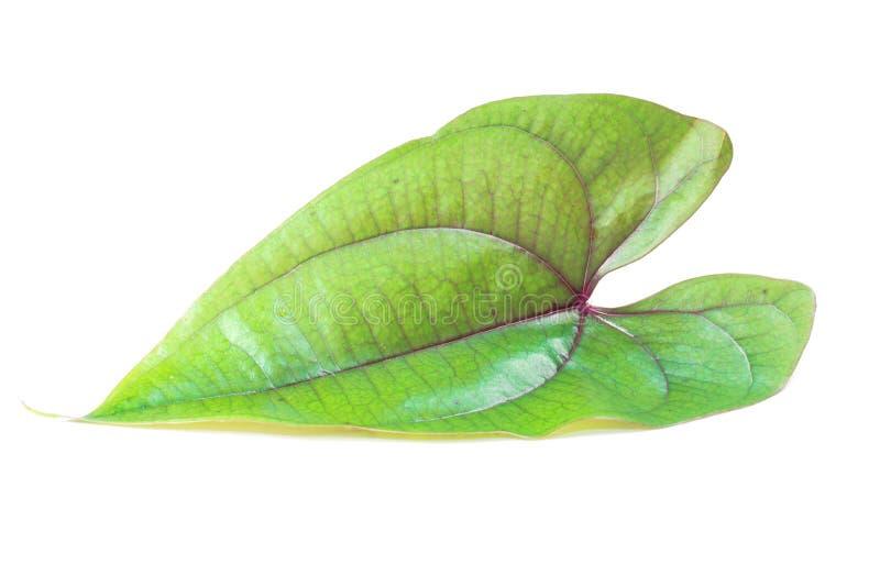 свежий шпинат листьев стоковое изображение