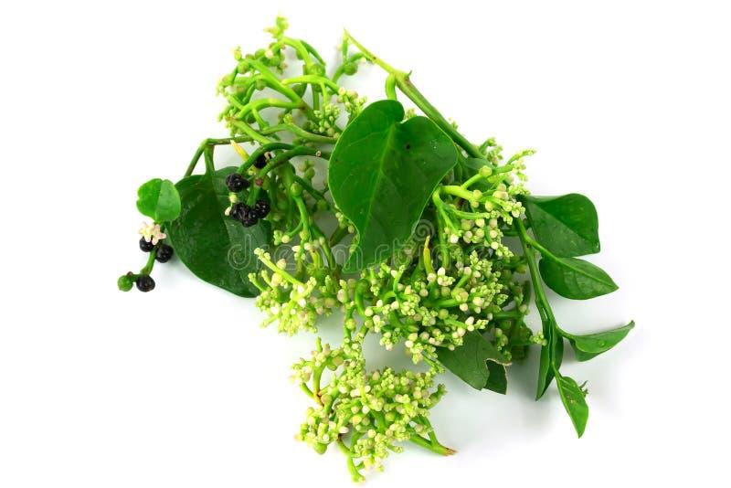 Свежий malabar шпинат или шпинат Цейлона или Basellaceae стоковое изображение rf