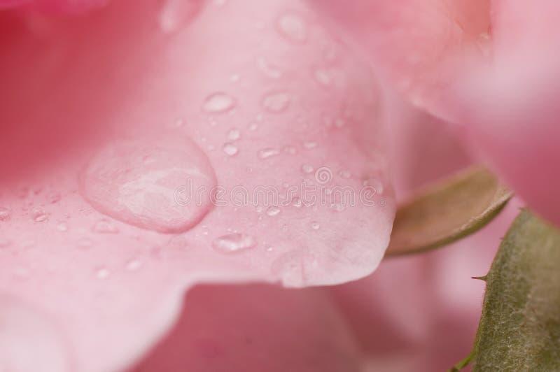 Свежо зацветенная розовая роза с каплями росы стоковые изображения