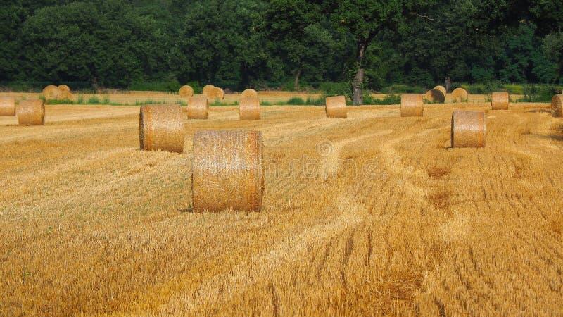 Свежо свернул связки сена в поле в Тоскане Италии Золотой и расслабляющий сезон лета состязания стоковая фотография