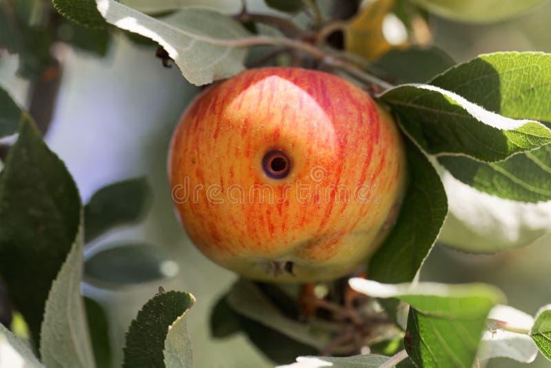 Сверлильная трассировка pomonella Cydia сумеречницы codling в яблоке стоковые изображения rf