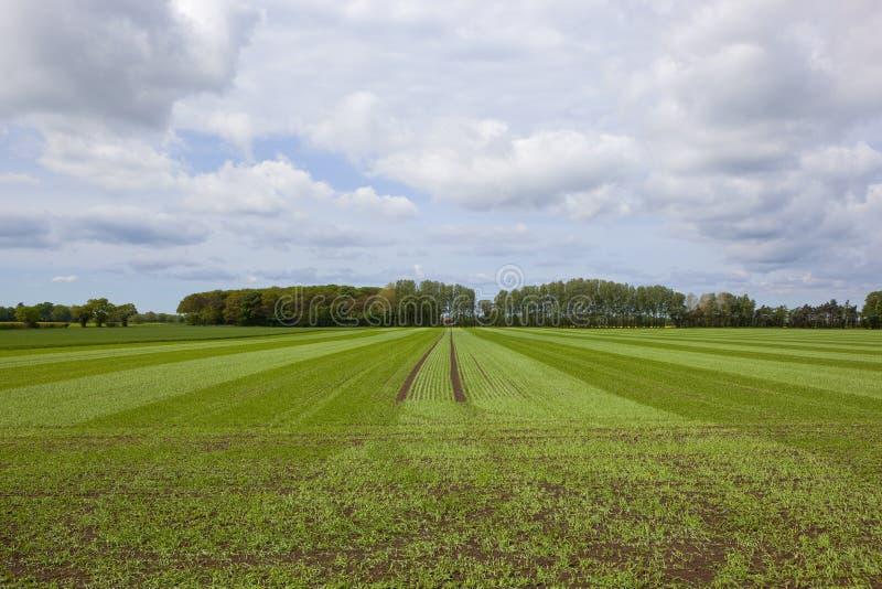 Свернутые урожай и полесье пшеницы стоковое фото rf