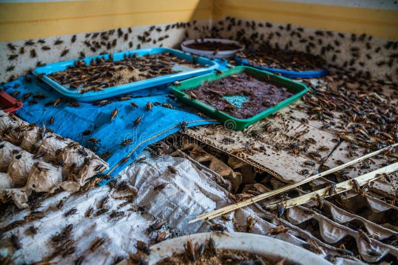 Сверчки в ферме, ибо потребление как еда и используемое как животный гонорар стоковые фотографии rf
