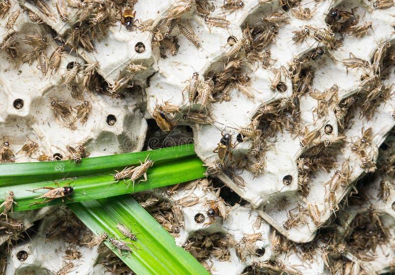 Сверчки, насекомые птицы которые подают для того чтобы зажарить и съесть как закуска стоковое изображение