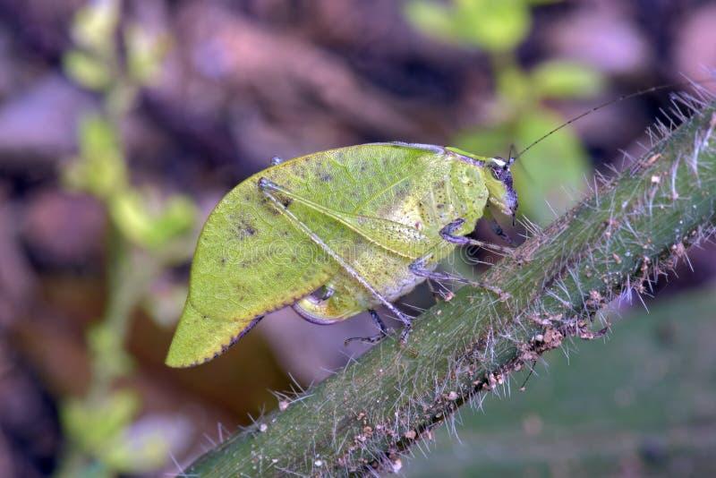 Сверчок Буша на зеленых лист стоковая фотография rf