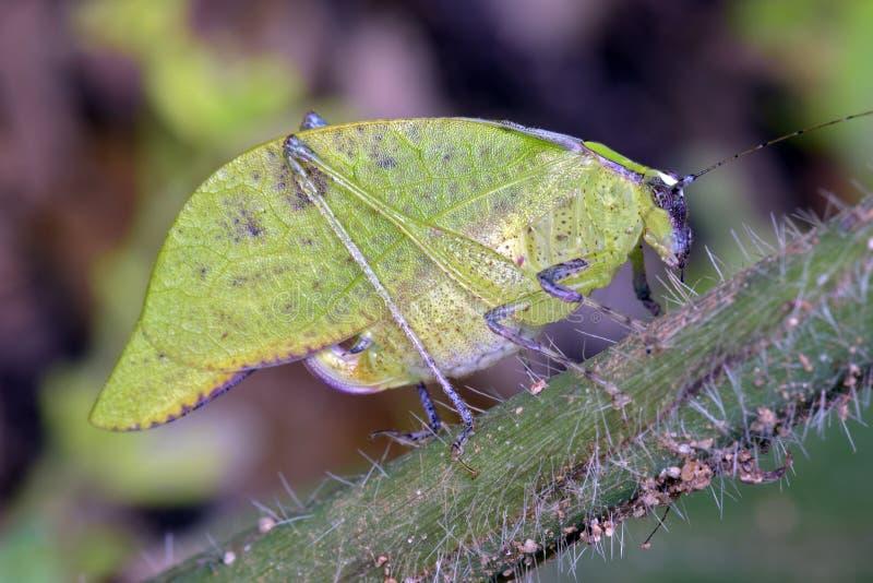 Сверчок Буша на зеленых лист стоковая фотография
