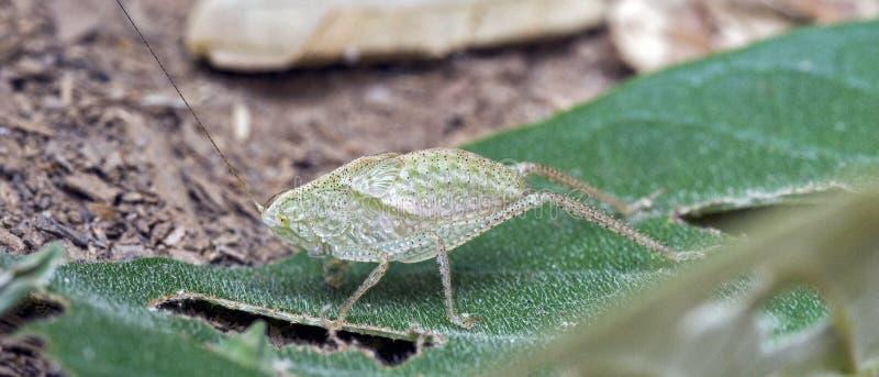 Сверчок Буша на зеленых лист стоковые фото