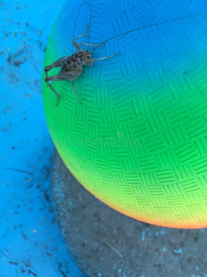 Download сверчок стоковое фото. изображение насчитывающей ballooner - 81806922