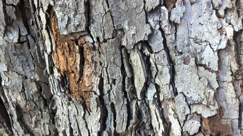 светлая древесина текстуры стоковые изображения rf
