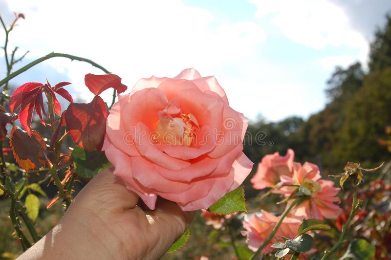 Светлое - розовая роза, который держат в руке в поле стоковые изображения