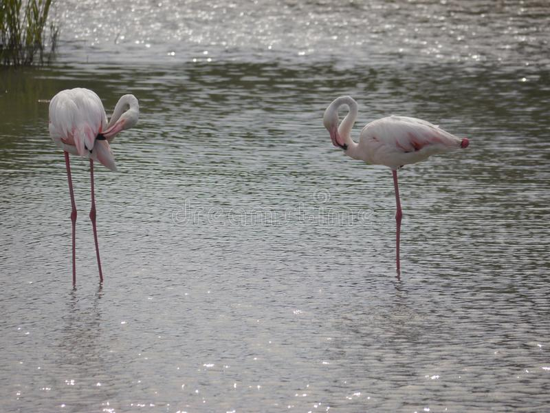 2 светлое - розовые flamings стоя в мелководье Они смотрят на один другого С небольшими клювами на голове стоковое изображение