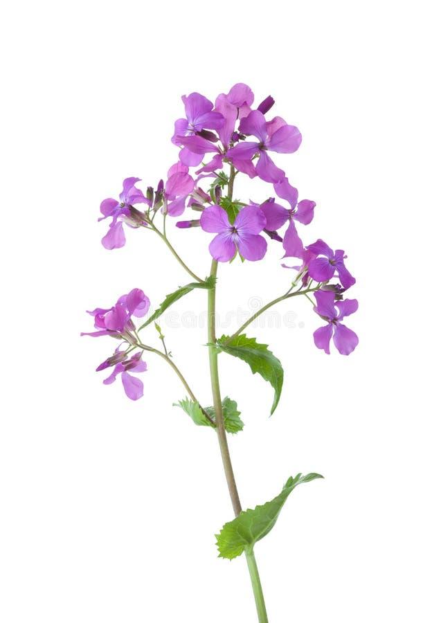 Светло-фиолетовые ноч-пахнущие matronalis Hesperis gilliflower изолированные на белой предпосылке стоковое фото rf