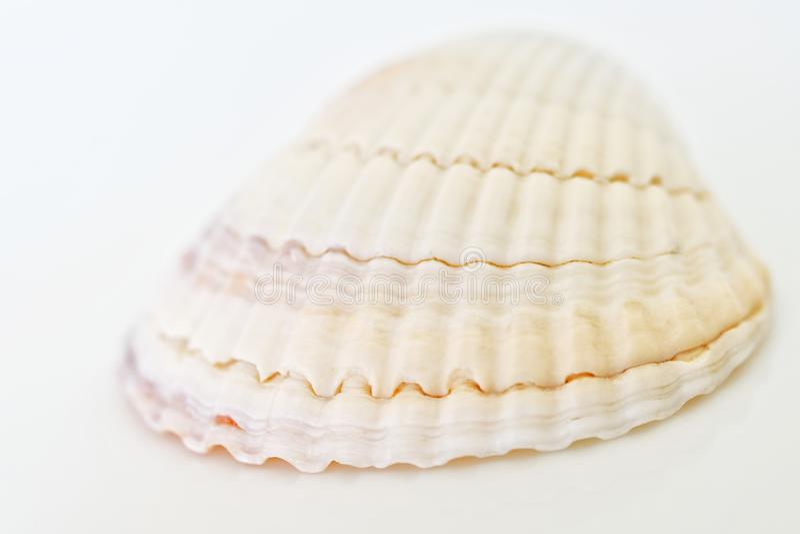Светлый - розовый seashell на белой предпосылке Детали от перемещения o r стоковая фотография