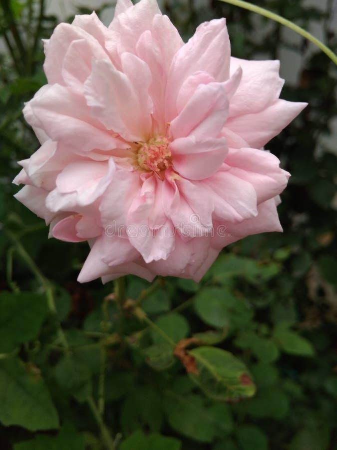 Светлый - цветок пинка Petaled красивый розовый внутри зеленые листья стоковые изображения rf