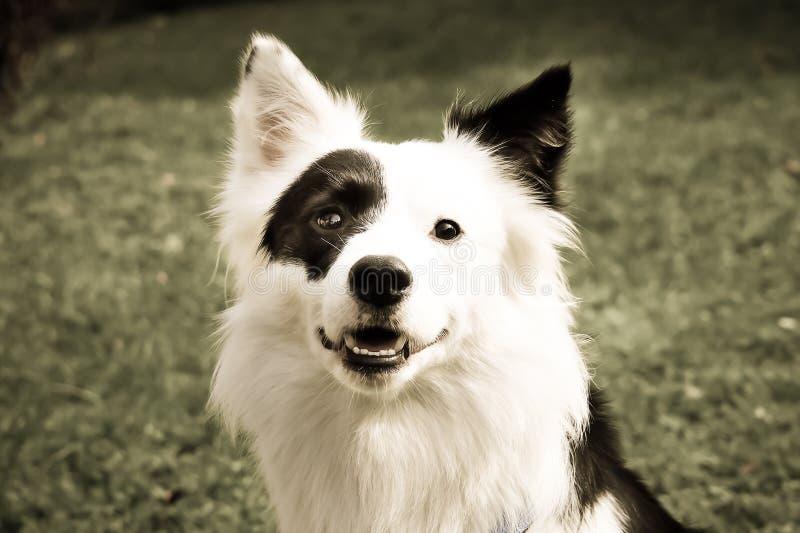 Светотеневое смешивание Коллиы границы собаки (8) стоковая фотография