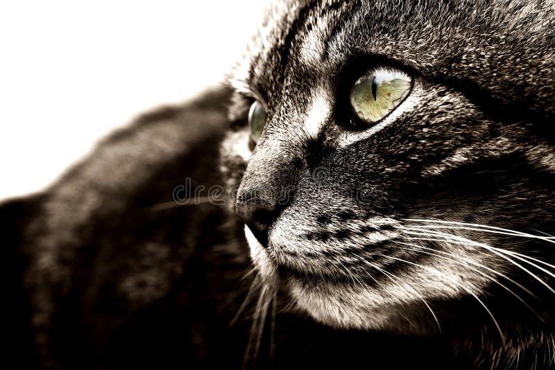 Светотеневой конец-вверх кота стоковое изображение