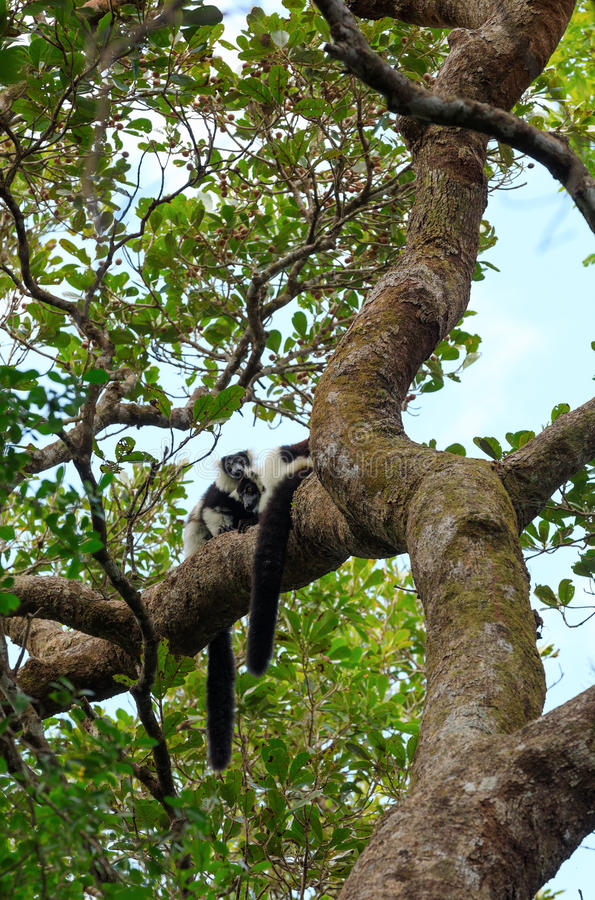 Светотеневой ruffed лемур, живая природа Мадагаскара стоковое фото