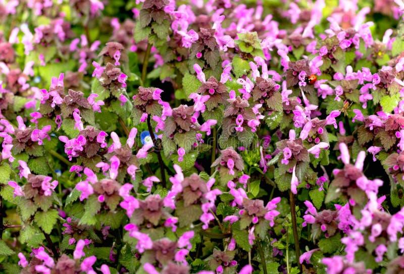 Свет весны цветков зацветая плотно красивый - пурпур иллюстрация вектора