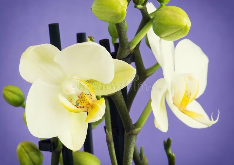 Download Свет - желтые цветки орхидеи с бутонами Стоковое Фото - изображение насчитывающей природа, элегантность: 37926436