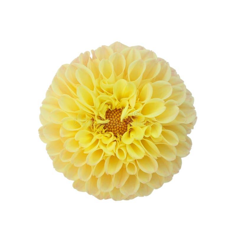 Свет - желтый георгин изолированный на белой предпосылке стоковые фотографии rf