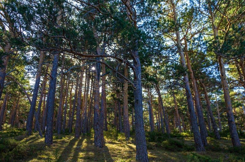 Свет захода солнца проходя между хоботами деревьев соснового леса стоковые изображения