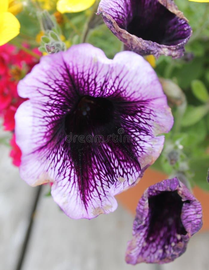 Свет и темное фиолетовое Calibrachoa стоковая фотография rf