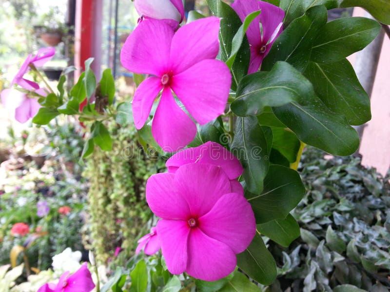 Свет природы - розовый цветок Beautful цвета Шри-Ланки стоковая фотография rf