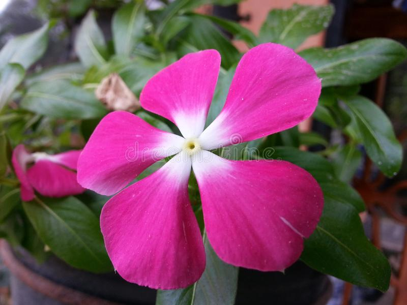 Свет природы - розовый цветок Beautful цвета Шри-Ланки стоковые фотографии rf