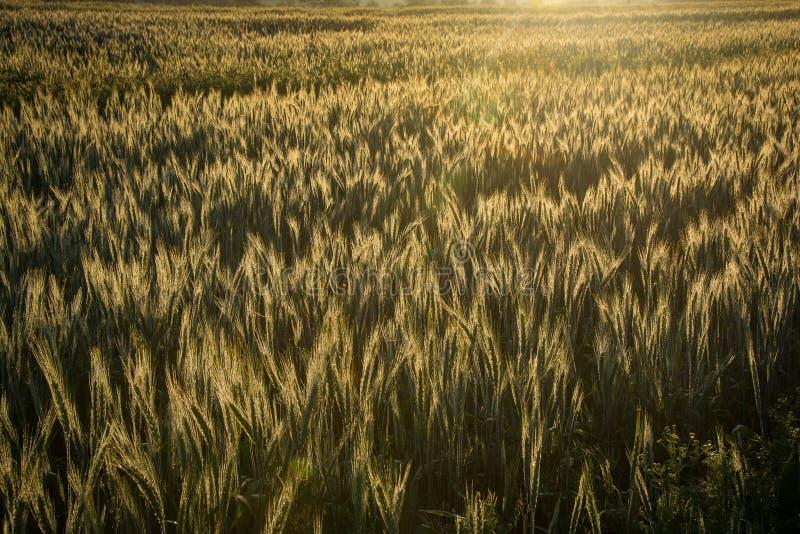 Свет раннего утра восхода солнца освещает пшеничное поле контржурным светом на ферме стоковое изображение