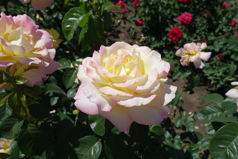 Свет - роза желтого цвета с розовыми краями лепестков стоковое изображение rf