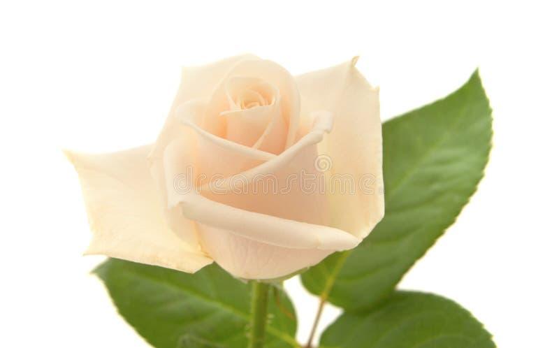 Свет - роза пинка и желтого цвета стоковая фотография rf