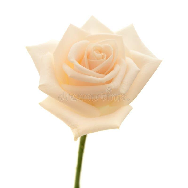 Свет - роза пинка и желтого цвета стоковое фото rf