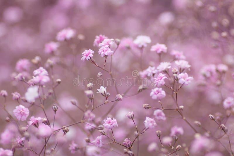 Свет - розовая флористическая предпосылка paniculata гипсофилы стоковая фотография rf