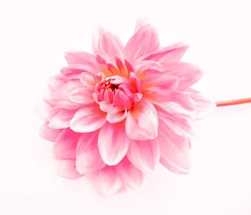 свет - розовый цветок георгина изолированный на белой предпосылке стоковое изображение rf