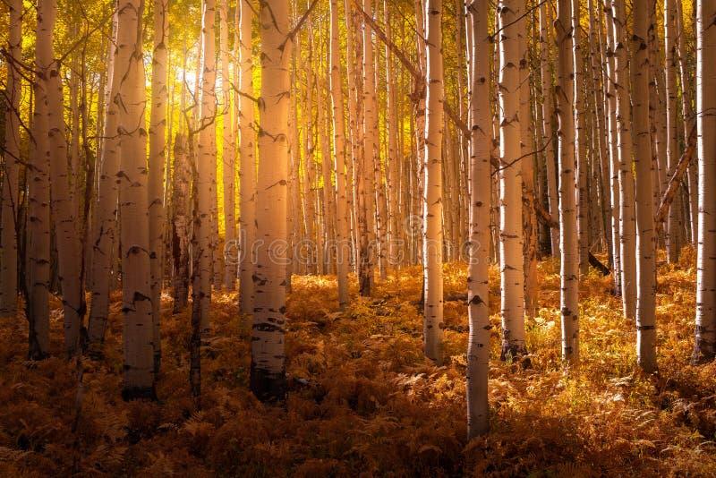 Свет, светящийся по деревьям Аспеня стоковые изображения