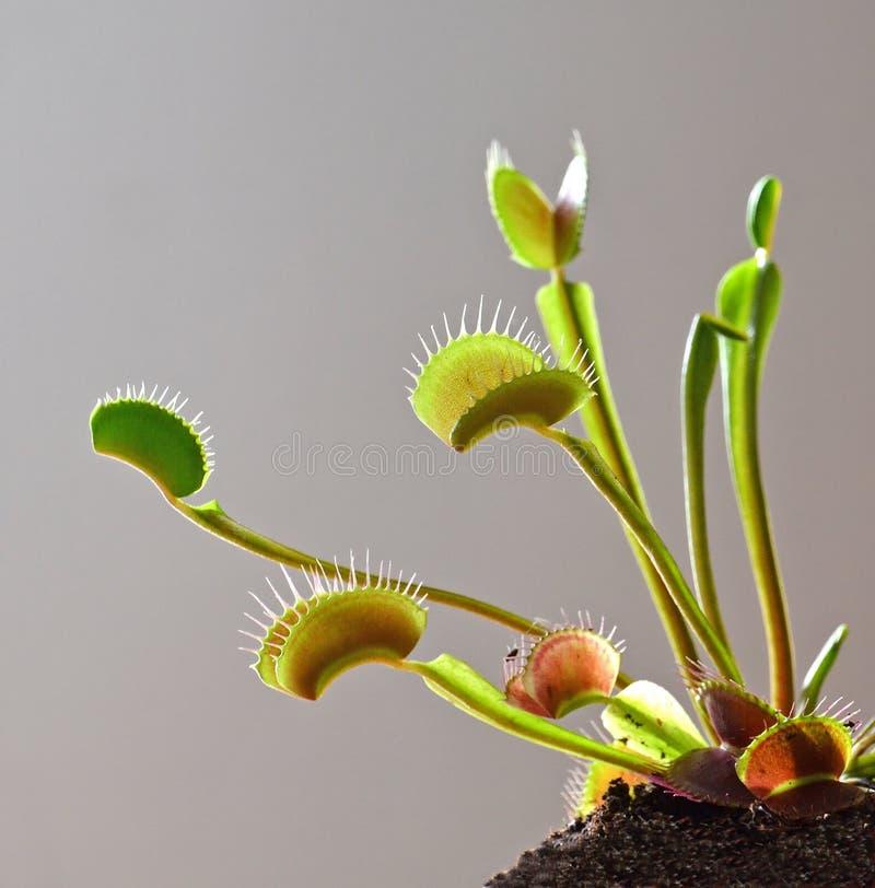 Свет счетчика ловушки мухы Венеры стоковое фото