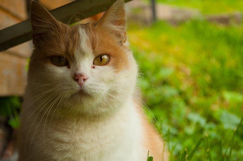 Светлый красный кот на предпосылке травы стоковое фото rf